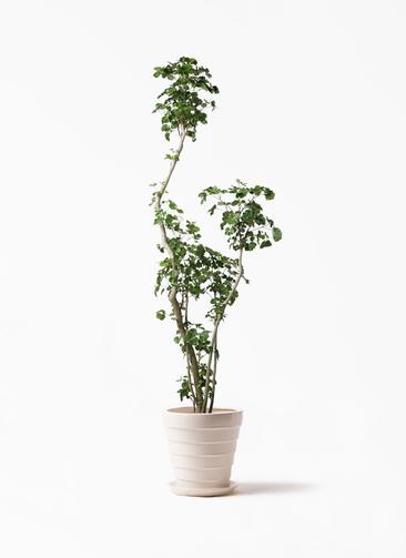 観葉植物 ポリシャス 8号 サバトリア 白 付き