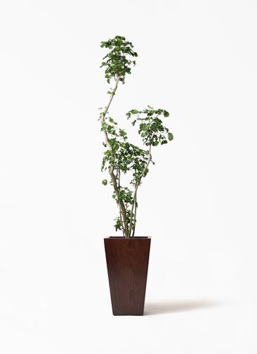 観葉植物 ポリシャス 8号 MOKU スクエア 付き