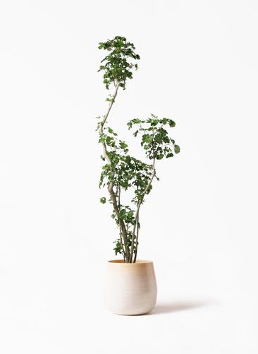 観葉植物 ポリシャス 8号 ササール 白 付き