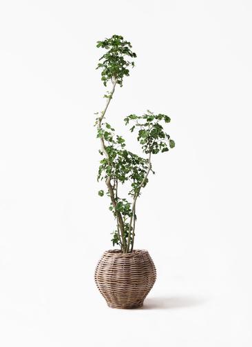 観葉植物 ポリシャス 8号 グレイラタン 付き