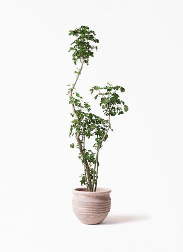 観葉植物 ポリシャス 8号 テラアストラ リゲル 赤茶色 付き