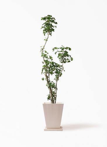 観葉植物 ポリシャス 8号 パウダーストーン 白 付き