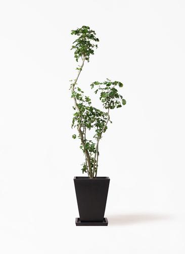 観葉植物 ポリシャス 8号 パウダーストーン 黒 付き