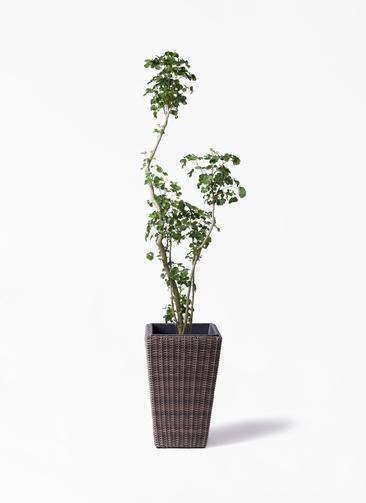 観葉植物 ポリシャス 8号 ウィッカーポット スクエアロング OT 茶 付き