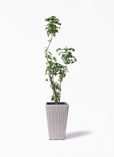 観葉植物 ポリシャス 8号 ウィッカーポット スクエアロング OT 白 付き
