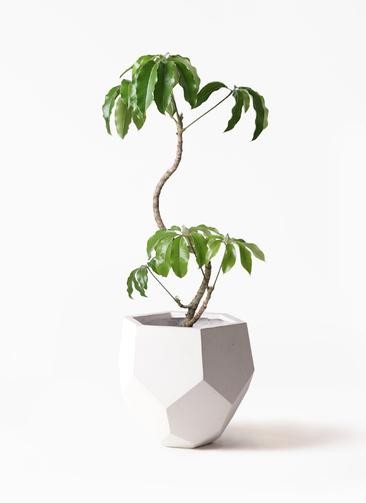 観葉植物 ツピダンサス 8号 曲がり ポリゴヘクサ 白 付き