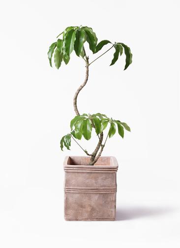 観葉植物 ツピダンサス 8号 曲がり テラアストラ カペラキュビ 赤茶色 付き