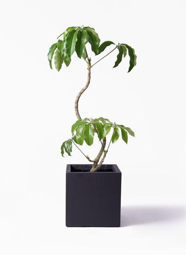 観葉植物 ツピダンサス 8号 曲がり ベータ キューブプランター 黒 付き