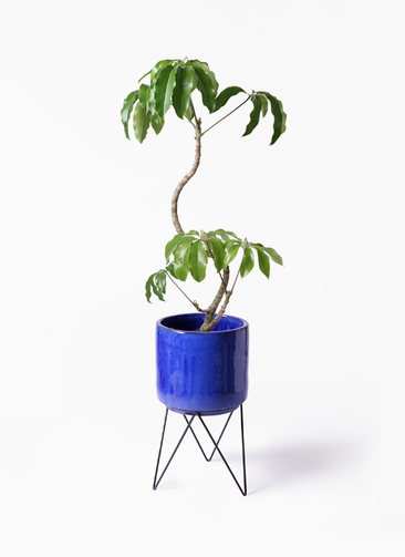 観葉植物 ツピダンサス 8号 曲がり ビトロ エンデカ 鉢カバースタンド付 ブルー 付き