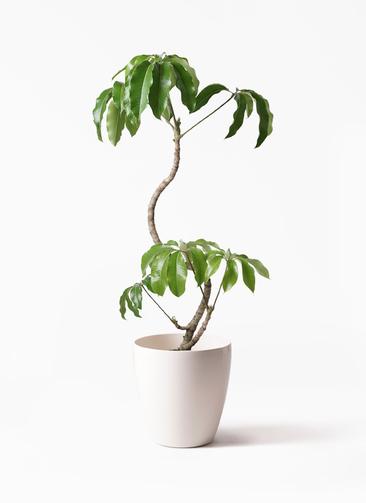 観葉植物 ツピダンサス 8号 曲がり ラスターポット 付き