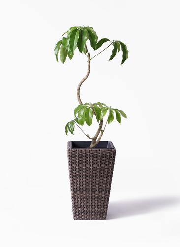 観葉植物 ツピダンサス 8号 曲がり ウィッカーポット スクエアロング OT 茶 付き