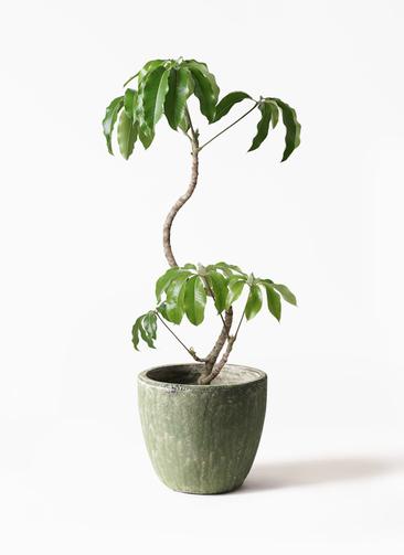 観葉植物 ツピダンサス 8号 曲がり アビスソニアミドル 緑 付き