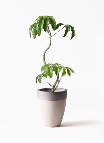 観葉植物 ツピダンサス 8号 曲がり ファイバーストーンカプリ サンディホワイト 付き