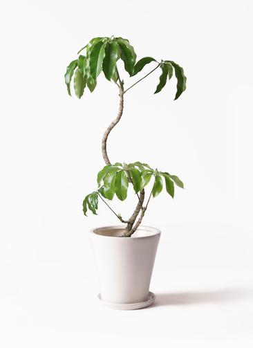 観葉植物 ツピダンサス 8号 曲がり サブリナ 白 付き