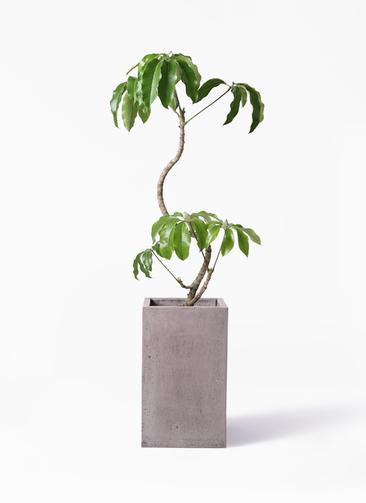 観葉植物 ツピダンサス 8号 曲がり セドナロング グレイ 付き