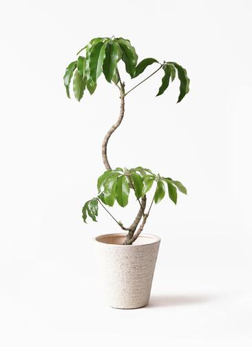 観葉植物 ツピダンサス 8号 曲がり ビアスソリッド 白 付き