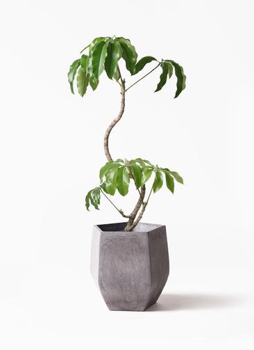 観葉植物 ツピダンサス 8号 曲がり ファイバークレイ Gray 付き