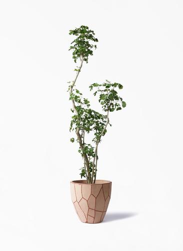 観葉植物 ポリシャス 8号 ウィスク 付き