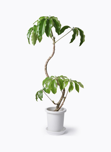 観葉植物 ツピダンサス 8号 曲がり プラスチック鉢