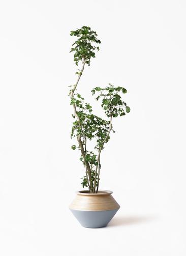 観葉植物 ポリシャス 8号 アルマジャー グレー