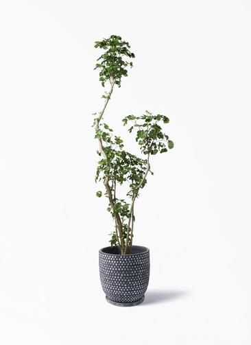 観葉植物 ポリシャス 8号 ハイブミドル ブラック 付き