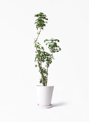 観葉植物 ポリシャス 8号 パウダーストーン white 付き