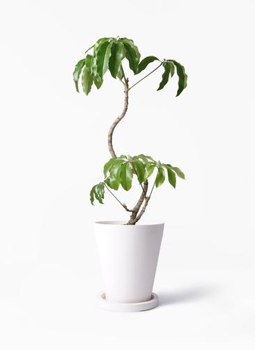 観葉植物 ツピダンサス 8号 曲がり パウダーストーン white 付き