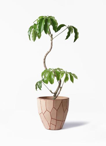 観葉植物 ツピダンサス 8号 曲がり ウィスク 付き