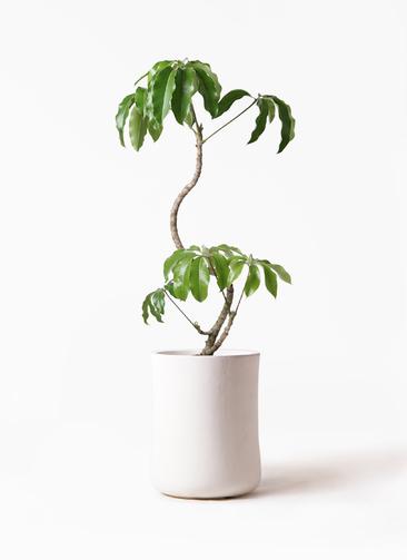 観葉植物 ツピダンサス 8号 曲がり バスク ミドル ホワイト 付き