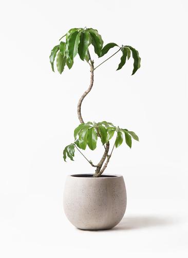 観葉植物 ツピダンサス 8号 曲がり テラニアス ローバルーン アンティークホワイト 付き