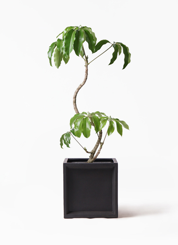 観葉植物 ツピダンサス 8号 曲がり ブリティッシュキューブ 付き