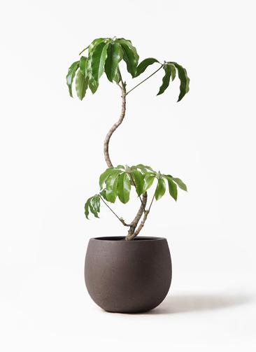 観葉植物 ツピダンサス 8号 曲がり テラニアス ローバルーン アンティークブラウン 付き