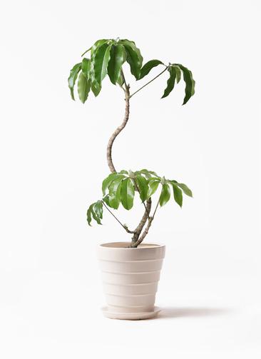 観葉植物 ツピダンサス 8号 曲がり サバトリア 白 付き