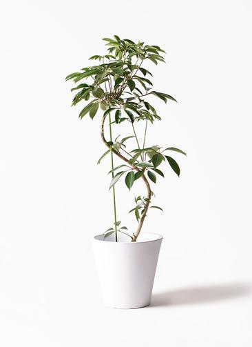 観葉植物 ツピダンサス 10号 曲り フォリオソリッド 白 付き