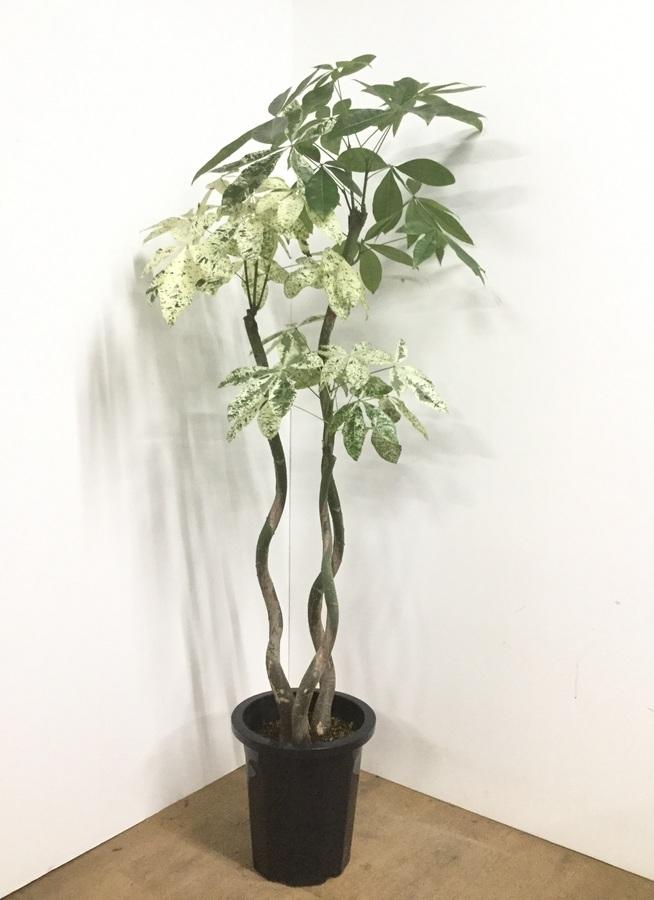観葉植物 【170cm】パキラ 10号 MIX #22540