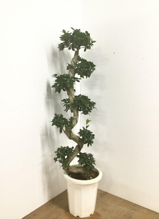 観葉植物 【145cm】ガジュマル 10号 曲り #22541