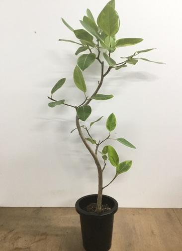 観葉植物 【140cm】フィカス アルテシーマ 8号 曲り #22542