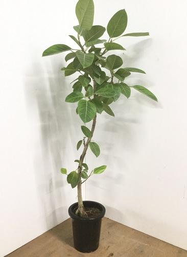 観葉植物 【150cm】フィカス アルテシーマ 8号 曲り #22544