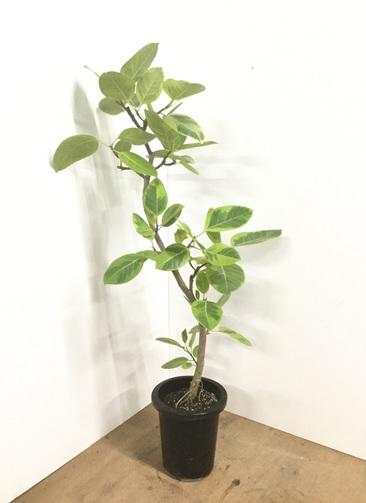 観葉植物 【135cm】フィカス アルテシーマ 8号 曲り #22545