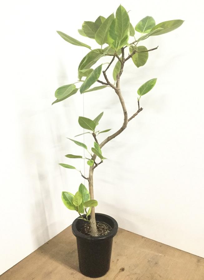 観葉植物 【140cm】フィカス アルテシーマ 8号 曲り #22546