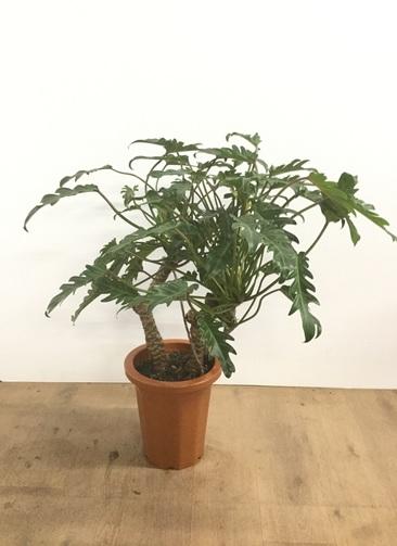 観葉植物 【80cm】クッカバラ 8号 #22547