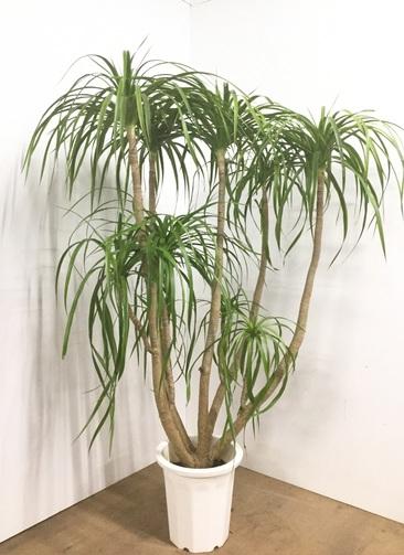 観葉植物 【160cm】ドラセナ カンボジアナ 10号 #22549