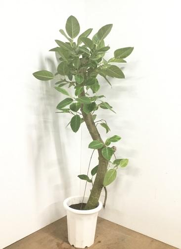観葉植物 【170cm】フィカス アルテシーマ 10号  #22550