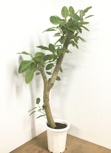 観葉植物 【170cm】フィカス アルテシーマ 10号 #22551