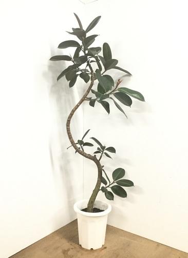 観葉植物 【185cm】フィカス バーガンディ 10号 曲り #22553 ※1都3県配送限定商品