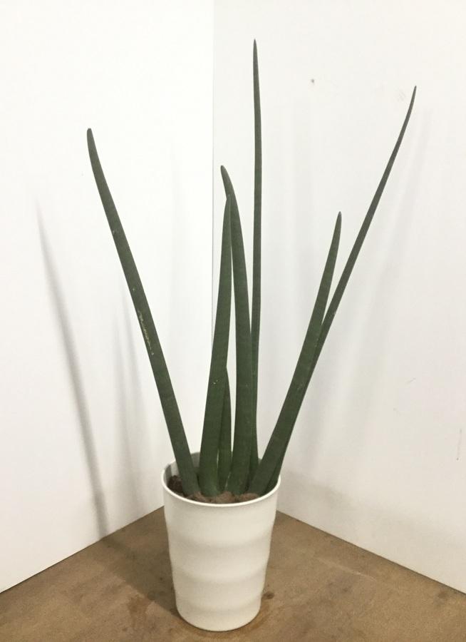 観葉植物 【140cm】サンスベリア スタッキー 10号 #22554