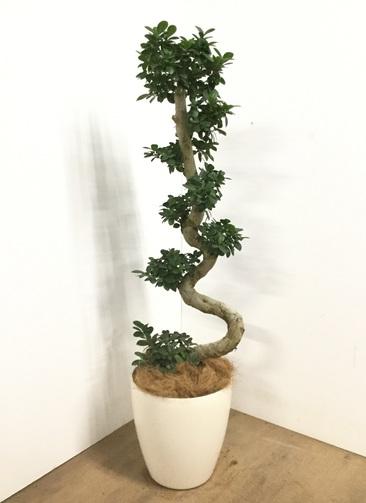 観葉植物 【150cm】【鉢カバー付】ガジュマル 10号 曲り #22555