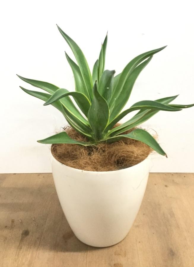 観葉植物 【60cm】【鉢カバー付】アガベ テキラナ 7号 #22557