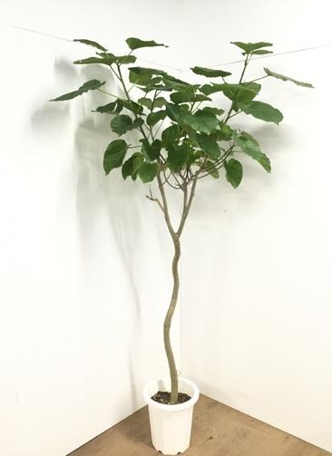 観葉植物 【220cm】フィカス ウンベラータ 10号 #22564 ※1都3県配送限定商品