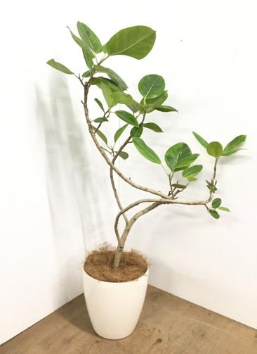 観葉植物 【125cm】【鉢カバー付】フィカス アルテシーマ 8号 #22565